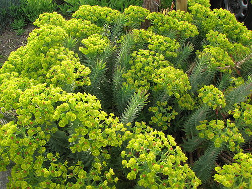 Gopher Plant: One of the five best xeriscaping plants for Phoenix landscaping.