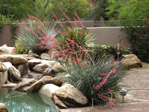 Red Yucca: One of the best five plants for xeriscape landscaping - Phoenix and Scottsdale.