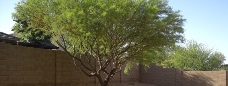 Top 5 Trees for Landscaping – Phoenix & Scottsdale