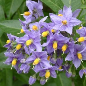 Blue Potato Vine