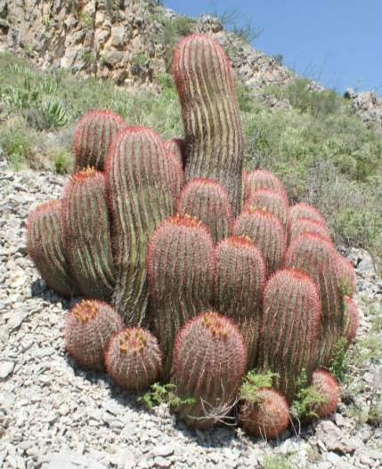 Lovely clump of Mexican fire barrel cactus photographed in the Chihuahua Desert.