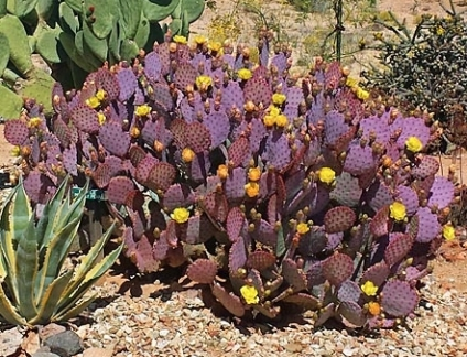 Purple Prickly Pear Cactus Blooming