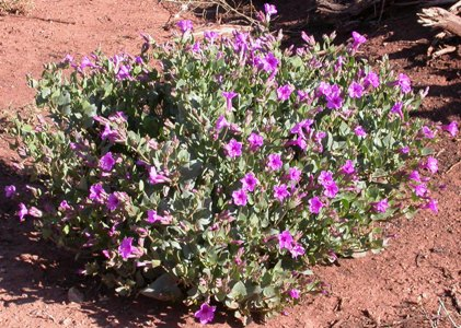 Showy 4 O'Clocks: Drought-Tolerant Perennial for Phoenix Landscaping