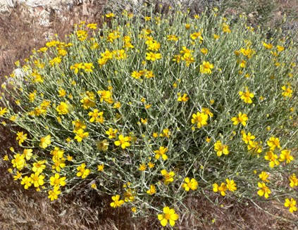 Paperflower: Xeriscaping Perennials for Phoenix Landscaping