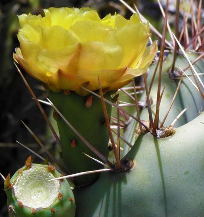 Cactus Areoles with Spine Arrays