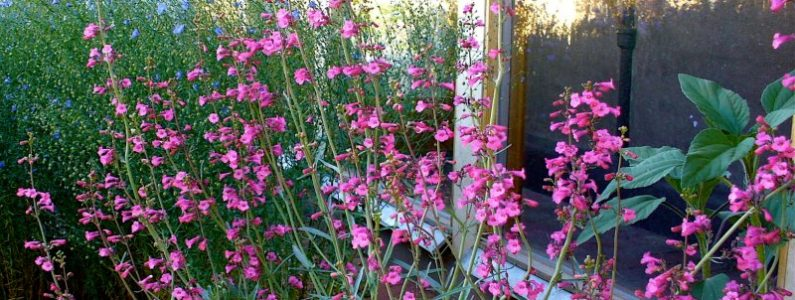 Pink Blooming Phoenix Landscaping Plants