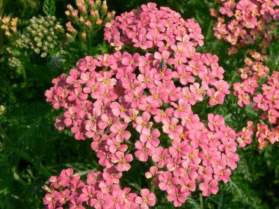 Yarrow: Pink Blooming Phoenix Landscaping Plants